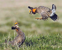 A territorial encounter between male Greater Prairie Chickens.  Photo: Len Backus.