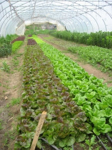 Lettuce varieties growing in a hoop house at Snug Haven Farm.
