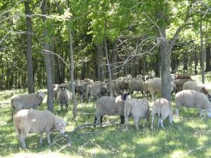 dum-herd